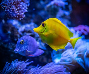 nepoleon fish
