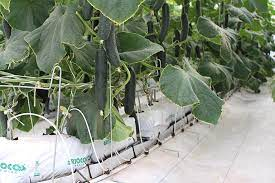 Hydroponic Gardening in Coco Coir with RICOCO coco coir grow bag